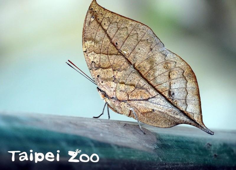 枯葉蝶偽裝技術赫赫有名,雙翅閉合時,幾乎沒人能發現牠是一隻蝴蝶。(圖由動物園提供)