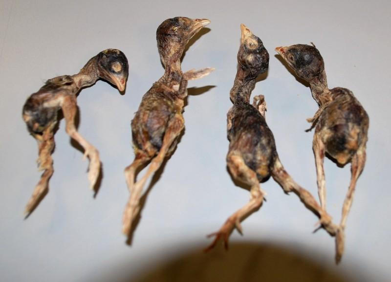 這些死小鳥大小約在2.5至3.5英吋(約6.4至8.9公分)之間。(圖取自推特@CBPMidAtlantic)