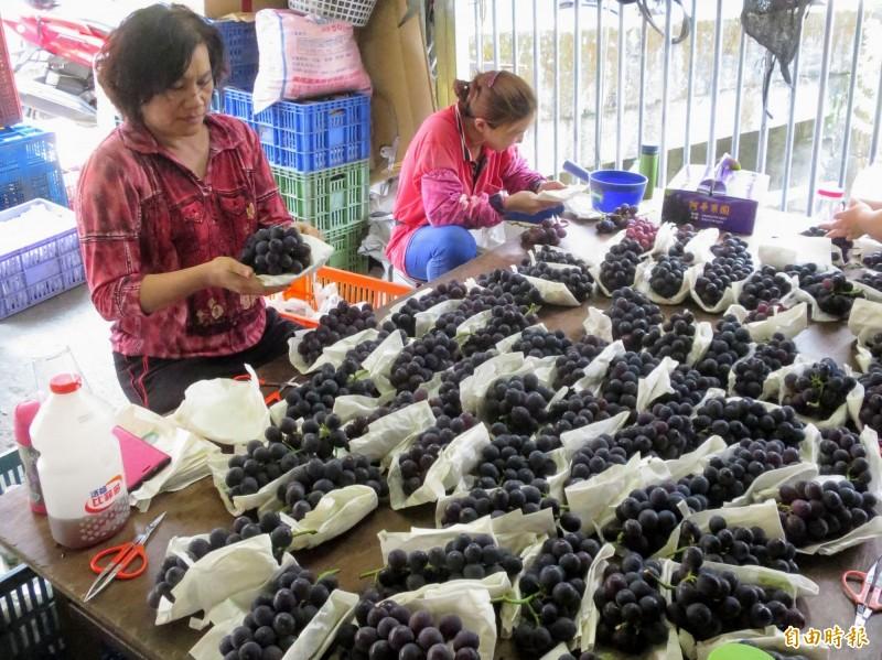 信義鄉以葡萄、番茄等農產為主要農作物,農會共同運銷金額破四億創下新高,歸功農友辛勤付出。(記者劉濱銓攝)