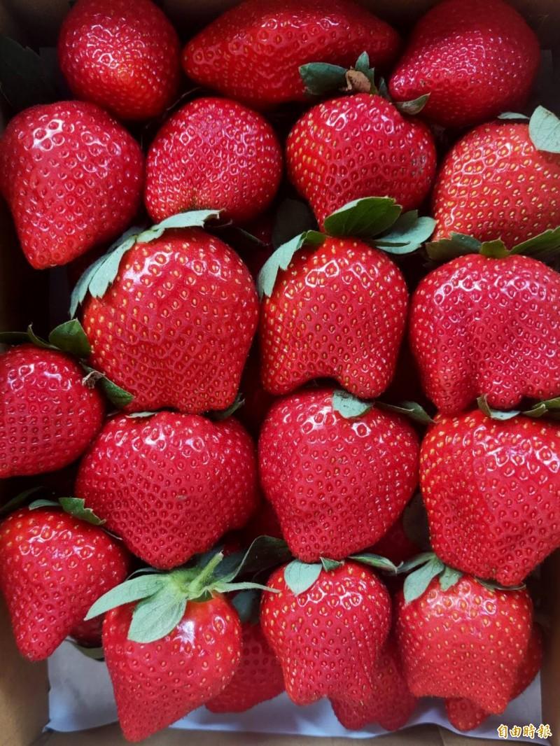 台南善化今年二期花草莓產量佳,果實相較大顆,業者歡迎民眾踴躍體驗採果。(記者萬于甄攝)