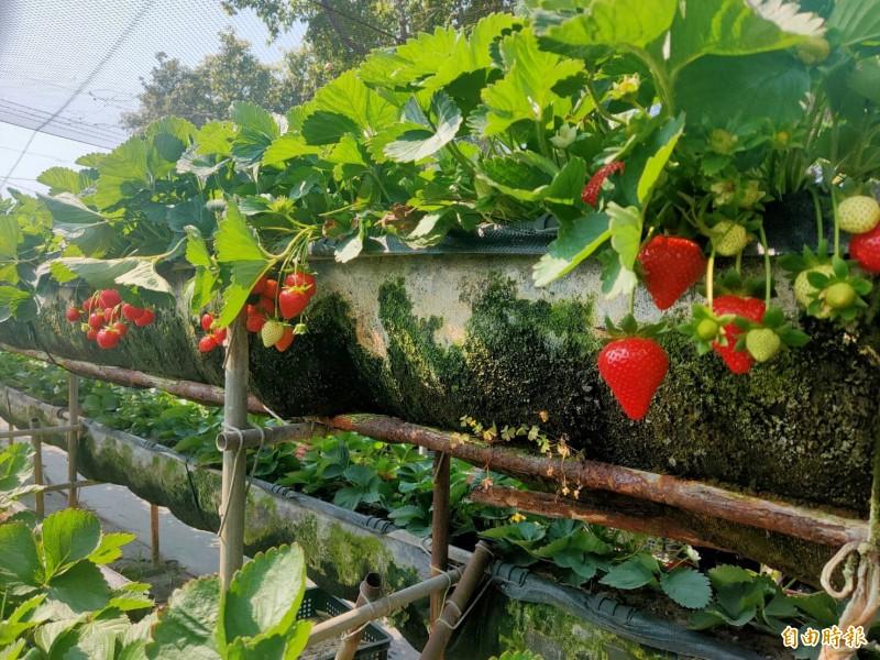 今年善化草莓季照常舉行,但善化區公所改變舉辦方式,活動自228連假起跑,區公所與在地業者合作,讓消費者可享採果8折優惠。(記者萬于甄攝)