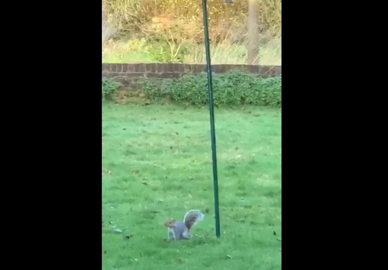 松鼠在爬行時相當吃力,經過一番努力後這隻松鼠精疲力盡的抱著桿子滑落,表情相當茫然地呆站在原地。(圖擷自Reddit)