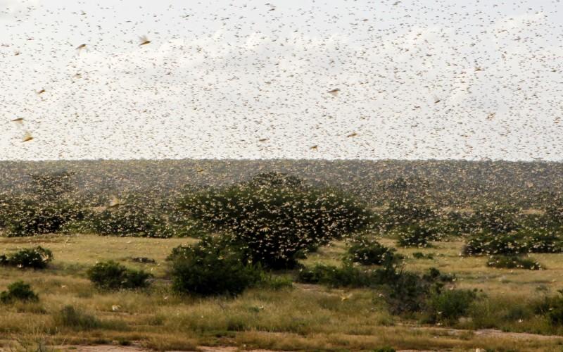 東非正面臨25年來最嚴重的蝗災,聯合國糧農組織(FAO)估計在6月蝗蟲數量可能爆增500倍。(路透)