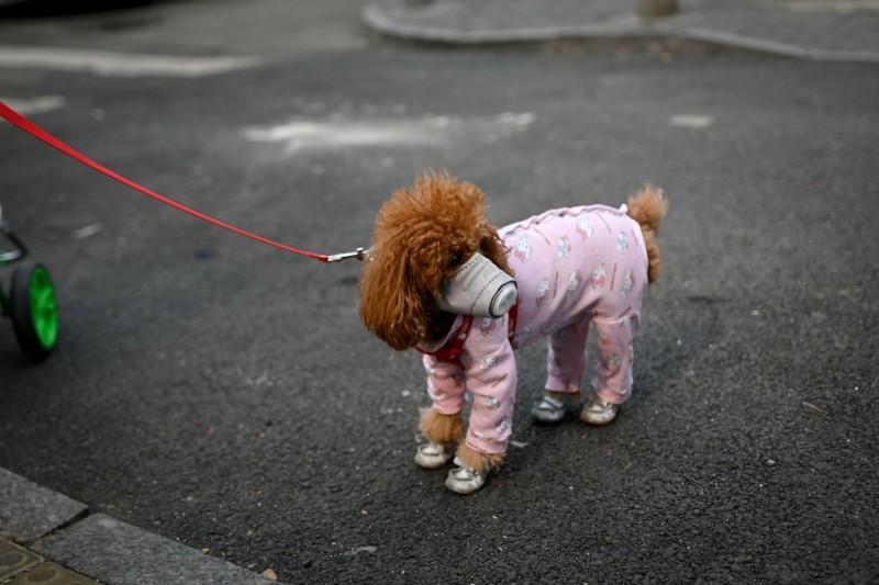 中國北京有越來越多民眾替家中狗狗戴口罩。(法新社)