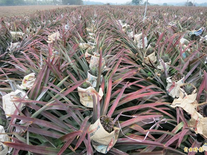 鳳梨是第一個受到武漢疫情衝擊的農產品,台南鳳梨下月產季開始。(記者楊金城翻攝)