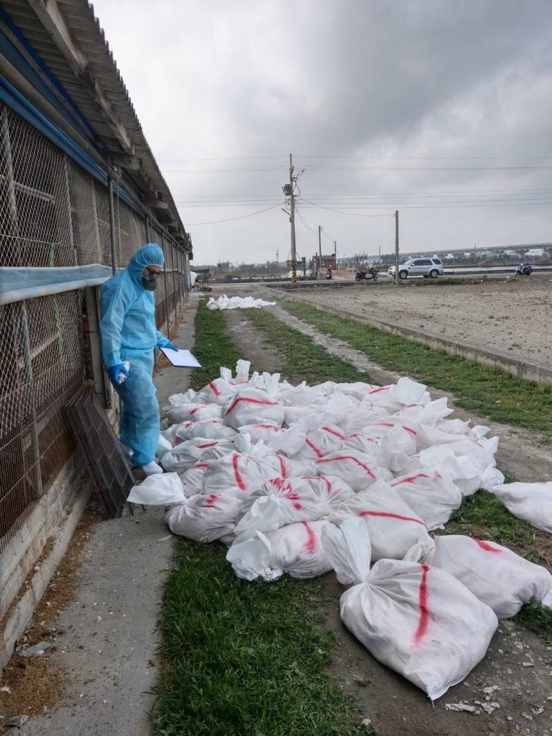 彰化大城一處土雞場傳出禽流感,撲殺7230隻。(彰化縣政府提供)