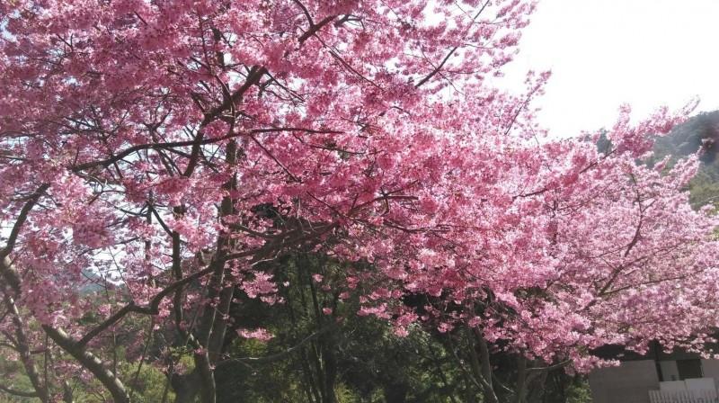 尖石鄉八五山果園的富士櫻,不讓日本櫻花專美於前。(朱元璋提供)