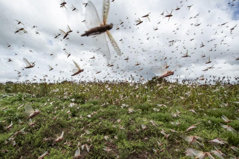 中國官方機構示警:4000億隻非洲沙漠蝗蟲已到達中國邊境。(美聯社檔案照)