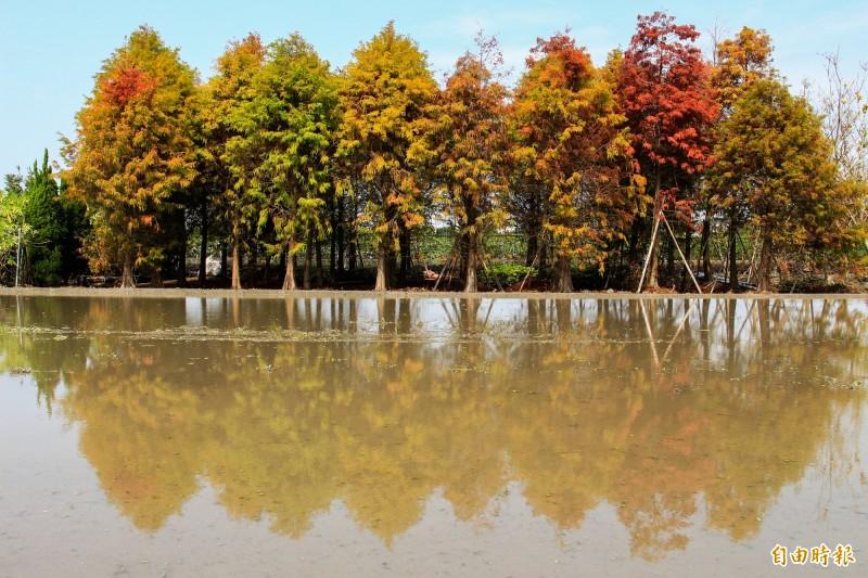 彰化境內多處落羽松林區樹葉正在轉紅,適逢春耕期水田放水,落羽松倒映在水田中,成為美景。(記者陳冠備攝)