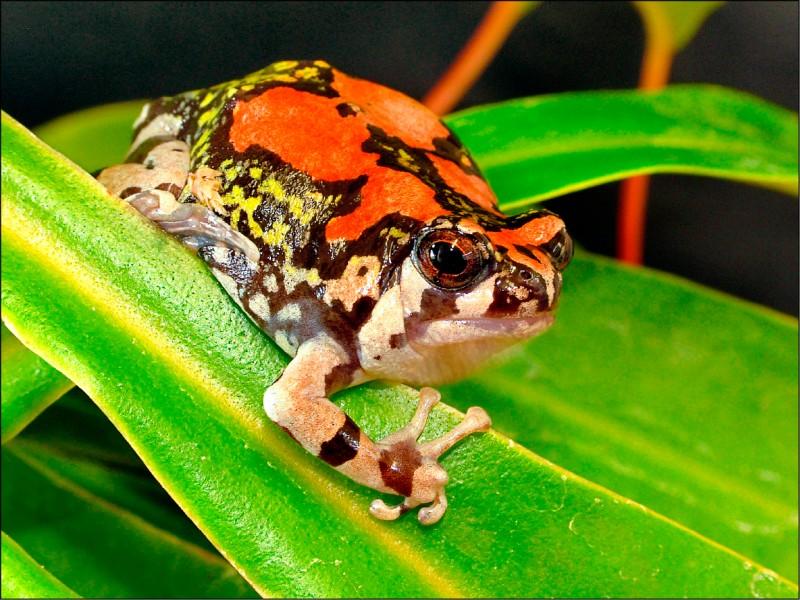 紅犁足蛙等稀有物種面臨滅絕。(路透)