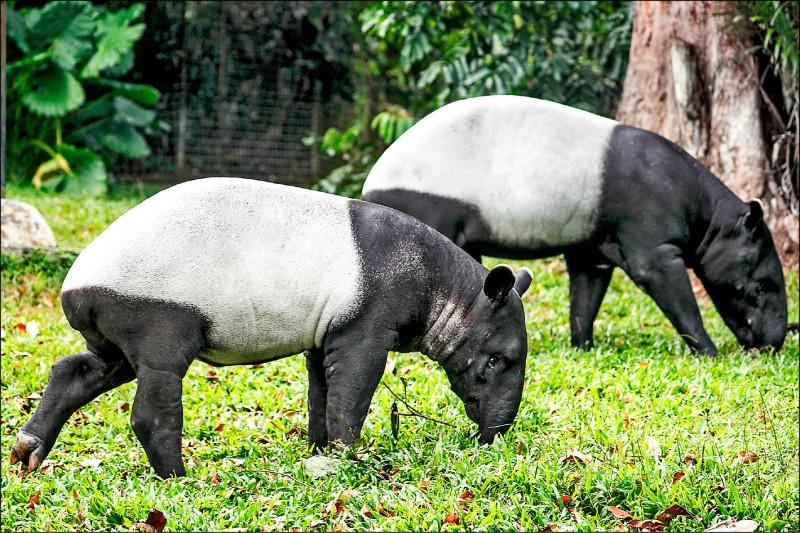 馬來貘面臨滅絕。(歐新社)