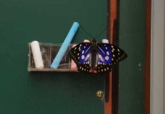 深受愛蝶人士喜愛的大紫蛺蝶,現身五峰白蘭部落。(莊美蘭提供)