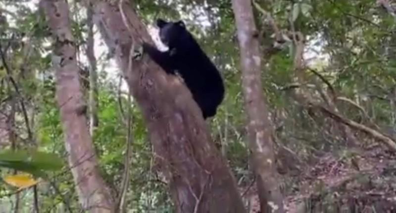 廣原小熊輕鬆爬上大樹。(記者黃明堂翻攝)