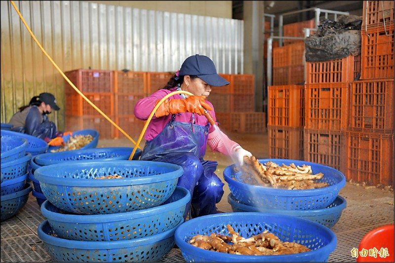受中國武漢肺炎疫情與美中貿易戰影響,生薑供應出現轉單效應,台灣薑首度出口美國。(記者劉濱銓攝)