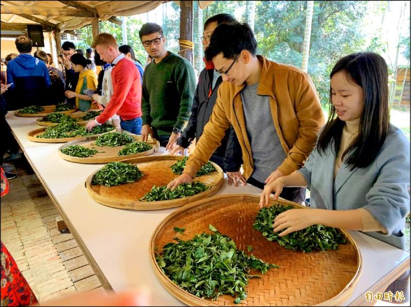 「戀戀魯冰花季」昨舉辦農事體驗,國際學生們專注揉捻茶葉。 (記者許倬勛攝)