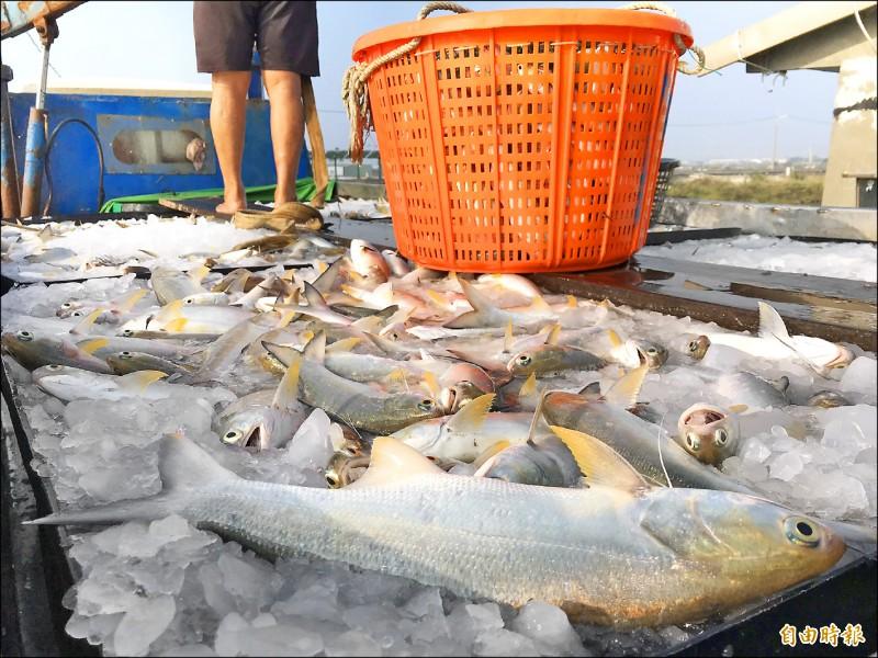 俗語中「一午二鮸三嘉臘」的午就是指午仔魚。(記者陳彥廷攝)