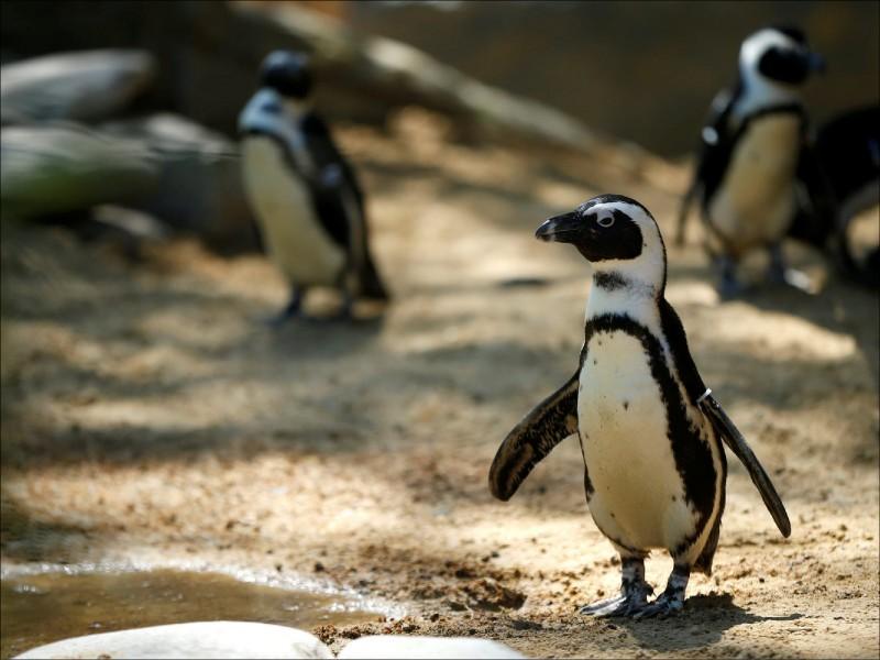 研究顯示,非洲企鵝與人類使用相同的語言模式。 (路透資料照)