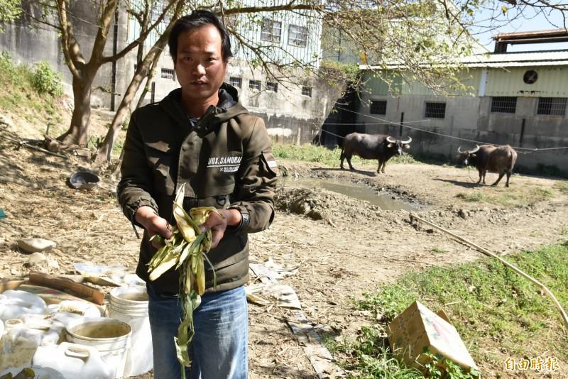 雲林青農林家良收養老牛,為了替老牛蓋牛棚,他賣自種的「回鄉米」籌措經費。(記者黃淑莉攝)