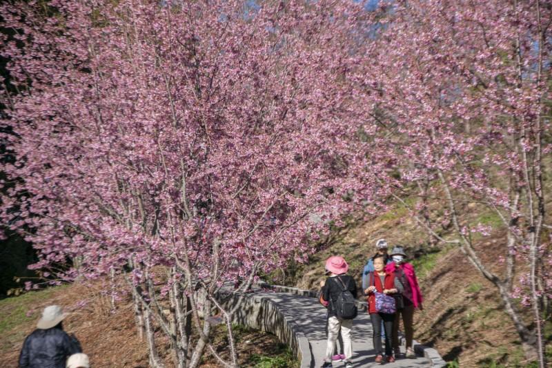 福壽山農場千櫻園粉紅櫻花大爆發,花開近7成。(福壽山農場提供)