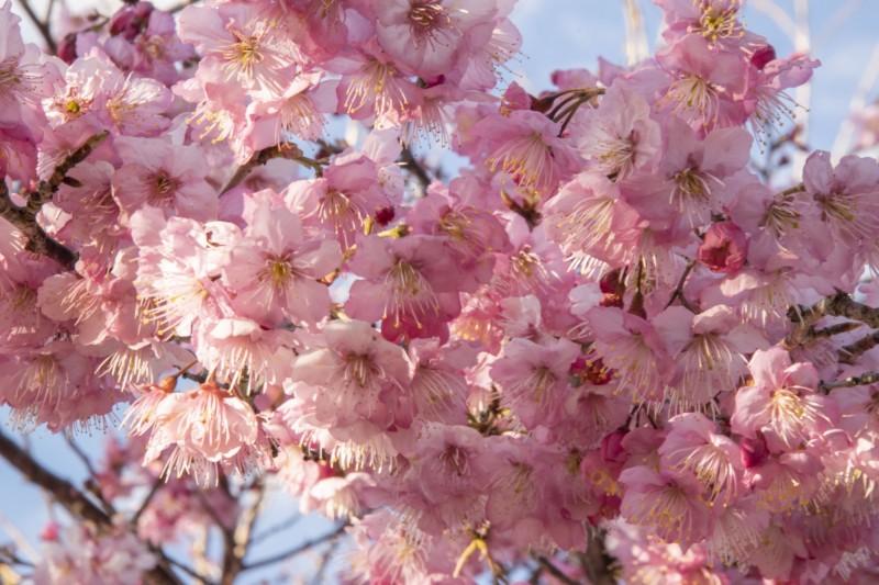 福壽山農場千櫻園粉紅櫻花大爆發,十分美麗。(福壽山農場提供)