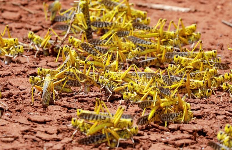 中國將支援10萬隻鴨子消滅蝗蟲。(路透)