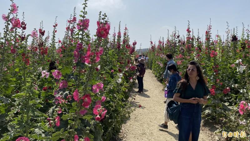 蜀葵花怒放,萬紫千紅,十分漂亮,遊客爆滿。(記者楊金城攝)