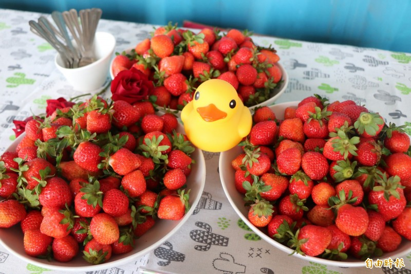 台南善化草莓季今天登場,民眾可趁連假體驗採草莓。(記者萬于甄攝)