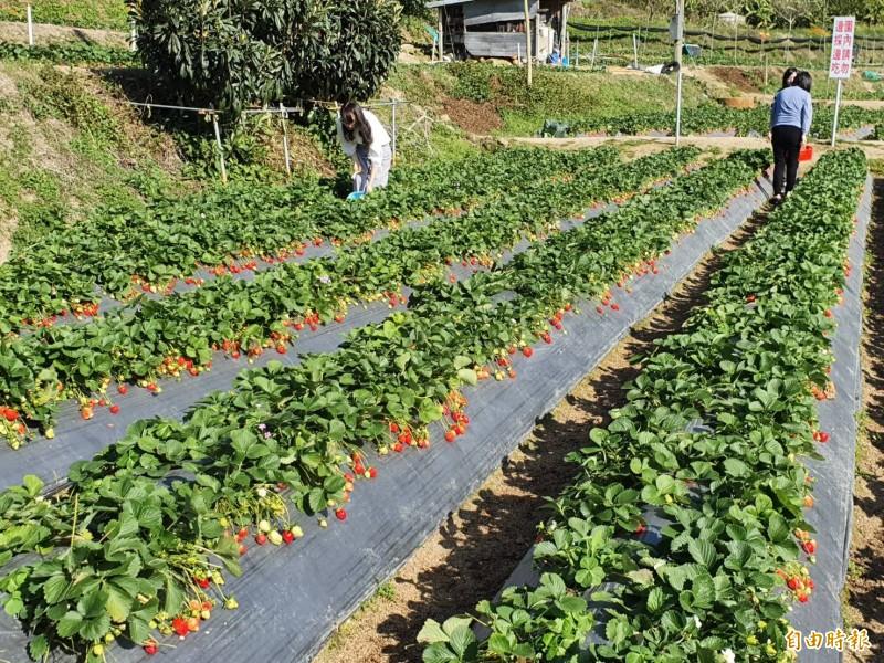 苗栗大湖草莓正值二期果末,三期果初的結果期,園內草莓結實纍纍,吸引不少民眾前往採果。(即時新聞攝)