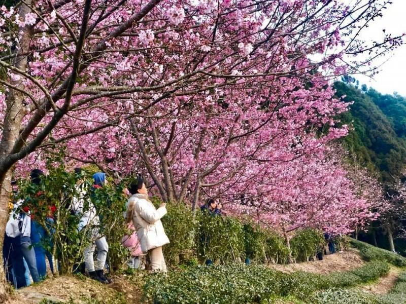 新竹縣五峰鄉山上人家櫻花正值盛開,228連假適逢好天氣,加上日本賞櫻觀光受到疫情影響,吸引大批遊客上山。(山上人家提供)