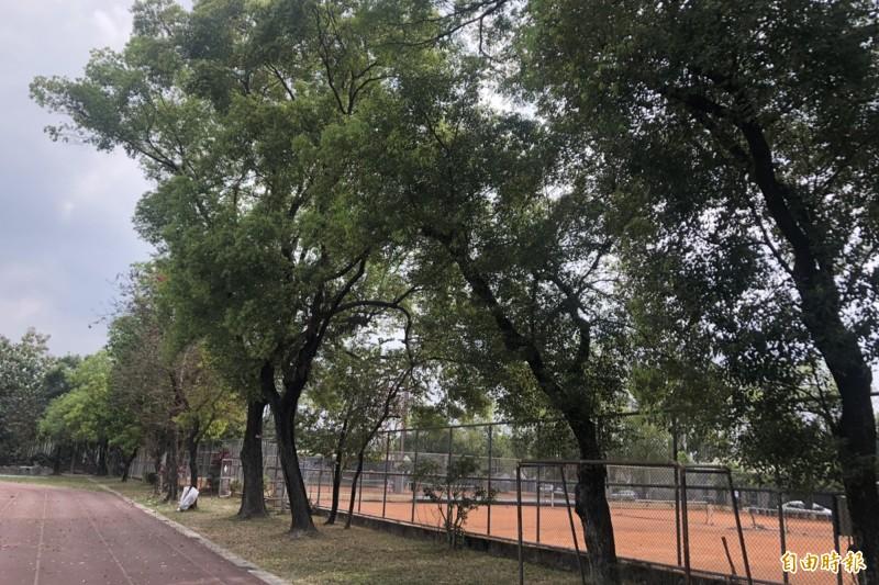 屏東縣內埔國小計畫結合設置太陽光電打造風雨球場,但網球場周遭的大樹樹蔭遮蔽率高,地方民眾憂心老樹遭砍頭。(記者邱芷柔攝)