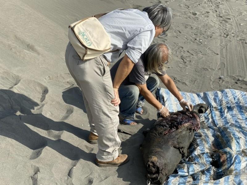 死亡的江豚,經現場解剖後,發現因應為長期未進食導致死亡。(記者詹士弘翻攝)