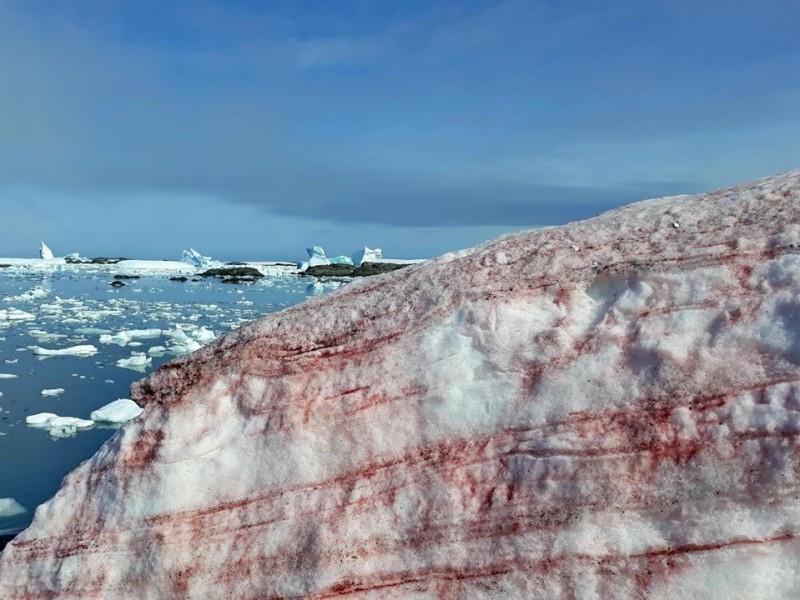 形成西瓜雪的極地雪藻會使融冰速度增加。(圖片取自「Національний антарктичний науковий центр」臉書)