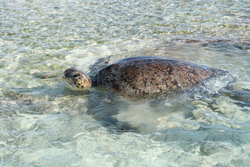 綠蠵龜棲息於太平島海域。(中山大學提供)