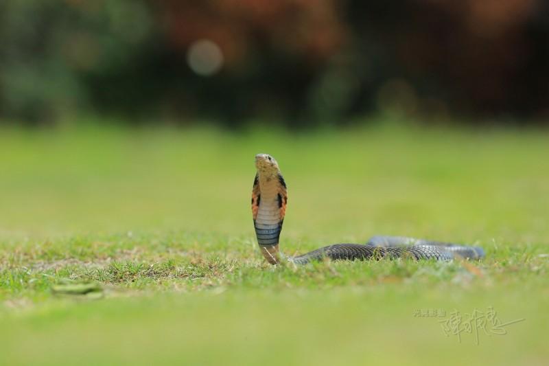 攝影玩家陳雅惠拍攝的眼鏡蛇沙龍照。(陳雅惠提供)