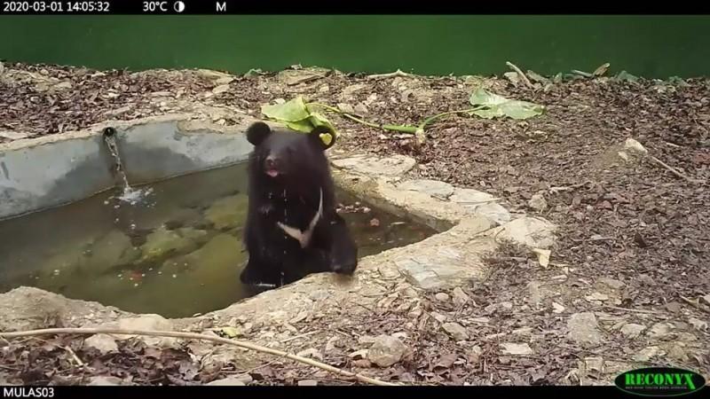 廣原小熊下水池消暑,古錐模樣超萌。(記者陳賢義翻攝)