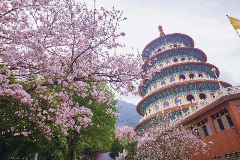 每逢春天,無極天元宮周圍的山櫻花、三色櫻、寒櫻輪番綻放。(圖為去年花況/新北市景觀處提供)