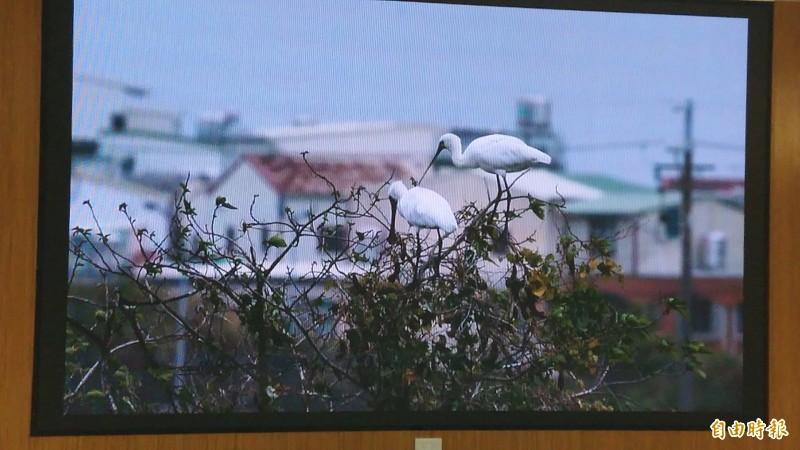 攝影家王徵吉發表黑面琵鷺生態珍貴畫面。(記者洪瑞琴攝)