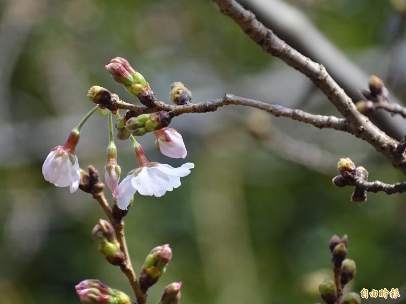 東京靖國神社染井吉野櫻標本木的櫻花含苞待放。(記者林翠儀攝)
