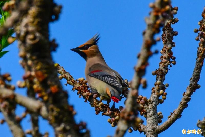 「朱連雀」連日在墾丁關山出沒,吸引大批鳥友爭睹。(記者蔡宗憲攝)
