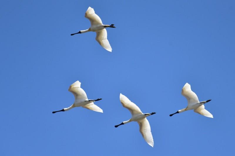 鳥友照過來!頻危的鳥類黑面琵鷺最近在新竹香山濕地過境,壯觀景況吸引鳥友追逐及一飽眼福。(圖由市府提供)