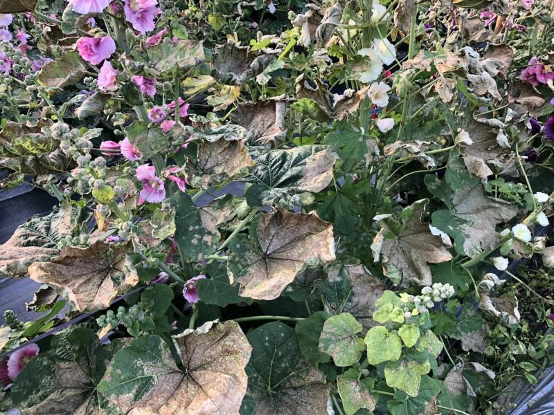 員林市蜀葵花田即將開園,卻傳出蜀葵花遭人蓄意噴灑藥劑,造成植株葉片、花朵枯黃。(員林市公所提供)