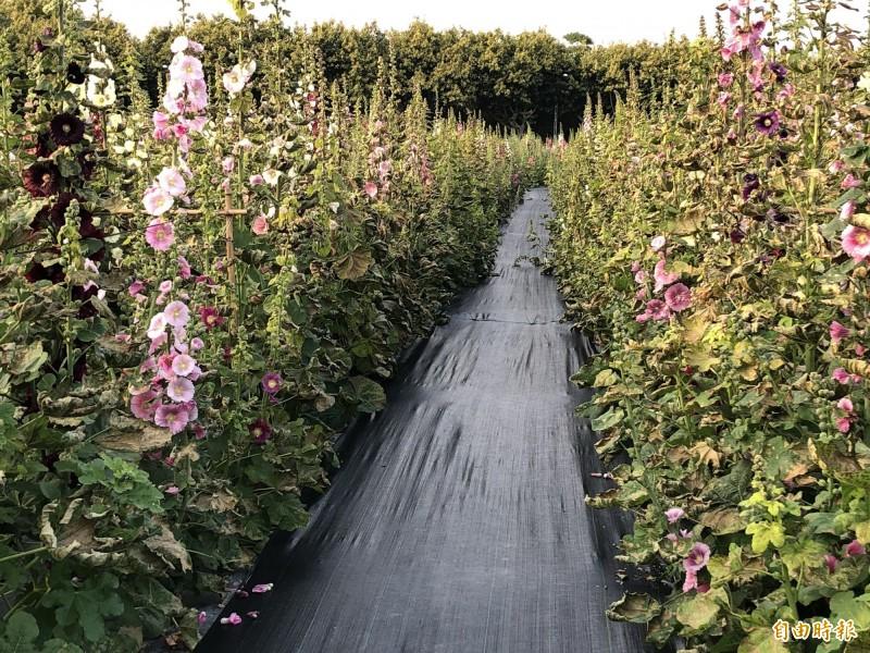 員林市蜀葵花海傳出遭噴灑除草劑破壞,近400坪面積花葉枯黃。(記者陳冠備攝)