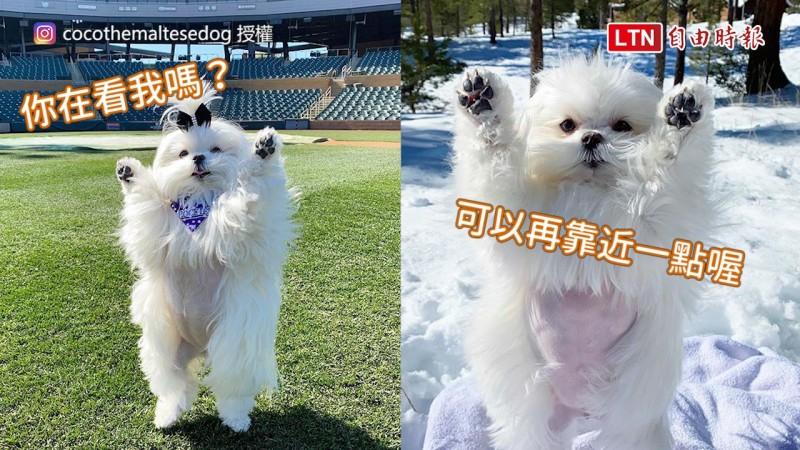 美國一隻名叫Coco的治療犬,因為喜歡舉手手投降而在網路爆紅。(圖片由Instagram帳號cocothemaltesedog授權提供使用)