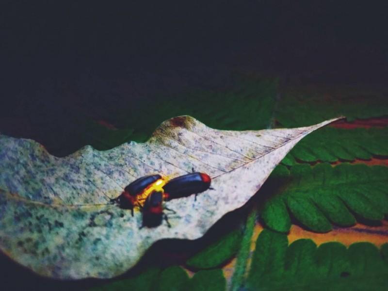 新北市五股區的「準休閒農場」4月將推出賞螢活動「螢河之花火季」。(新北市政府農業局提供)