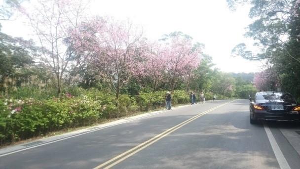 三芝區公立動物之家周邊陸續綻放吉野櫻美景。(新北市政府動物保護防疫處提供)