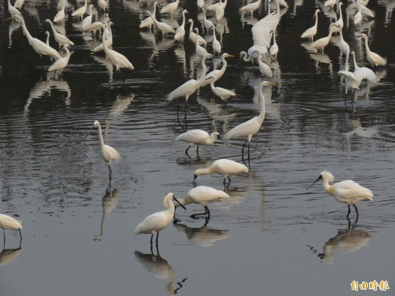 四草漁民自家門口漁塭進行涸池,來了一大群水鳥覓食,連黑面琵鷺也混在其中。(記者蔡文居攝)