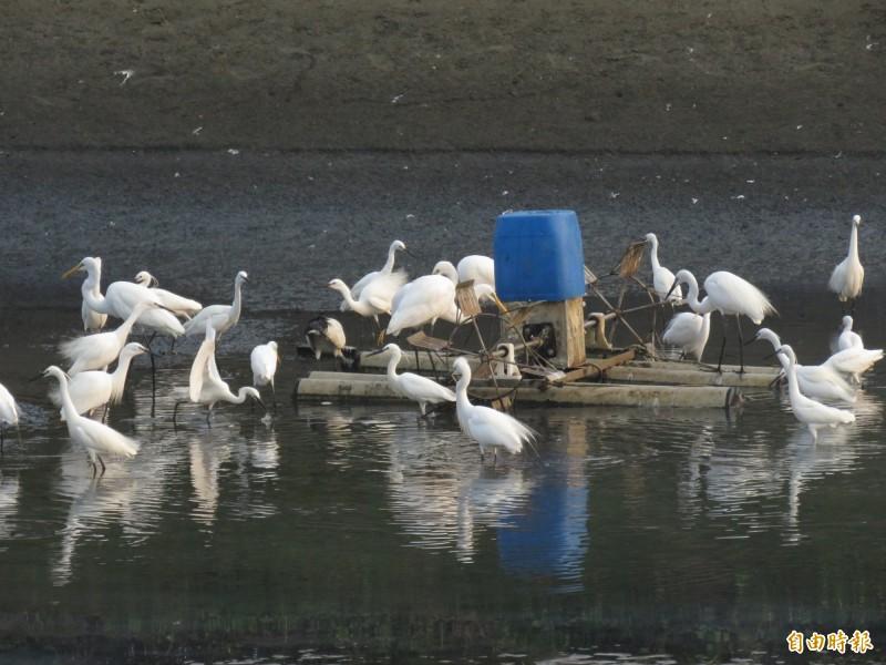 每年2至4月是四草漁民整理池底的季節,都吸引很多鷺科水鳥來覓食。(記者蔡文居攝)