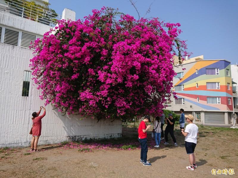 安平一處私人民宅白牆外大爆花,民眾聞風而至拍照打卡。(記者洪瑞琴攝)