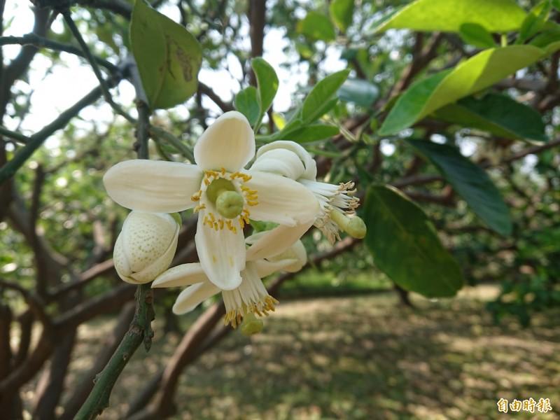 麻豆柚花香氣迷人。(記者洪瑞琴攝)