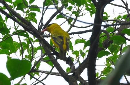 柳營國中校園近日來了一對嬌客,竟然是一級保育鳥類黃鶯。(圖由學校提供)